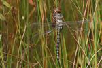 Subarctic Darner (Aeshna subarctica)
